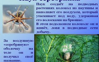 Водяной паук серебрянка – фото и описание