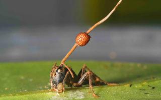 Гриб, который управляет муравьем