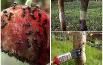 Чем и как избавиться от муравьев на вишне