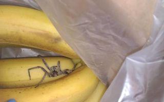 Бразильский банановый паук в россии – фото и описание