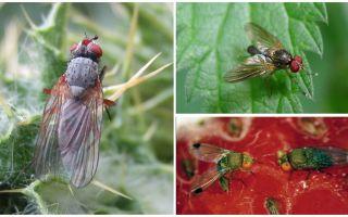 Методы борьбы с малиновой стеблевой мухой