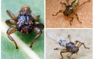 Лосиная блоха (муха, вошь, клещ)
