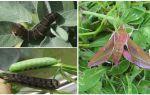 Гусеница бражника — фото и описание
