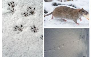 Следы крысы на снегу – фото и описание