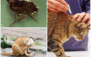 Как вывести блох у кошки в домашних условиях народными средствами