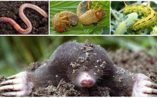 Что едят кроты в огороде и природе