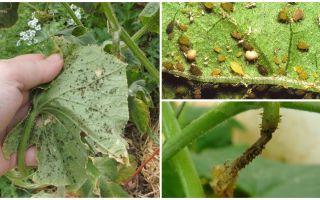 Вредители огурцов в открытом грунте и борьба с ними, фото