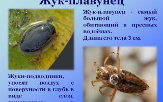 Жук плавунец — фото, описание, чем питается, строение тела и среда обитания