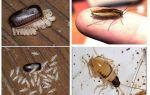 Черные тараканы в квартире и как избавиться