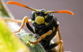 Правда ли, что яд бразильской осы убивает раковые клетки, не повреждая здоровые