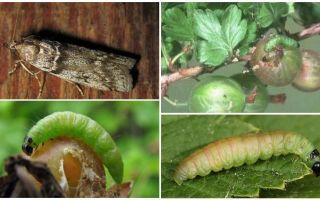 Как бороться с гусеницами на крыжовнике