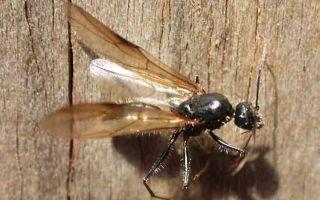 Летающие муравьи и как избавиться от них в доме