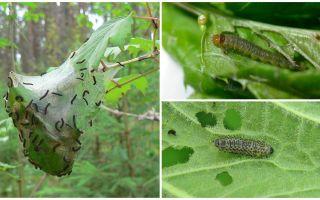 Как бороться с гусеницами на калине
