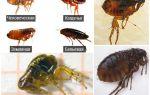 Как выглядят блохи на фото: виды блох и подробное их описание