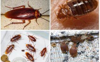 Клопы и тараканы живут ли вместе