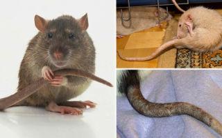 Зачем крысе длинный хвост