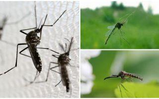 Почему пищат комары