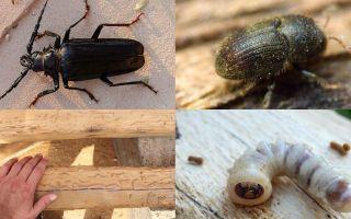 Жук точильщик — как избавиться в деревянном доме