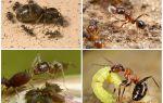 Зола против муравьев в огороде