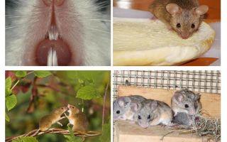 Биологические особенности строения мышей