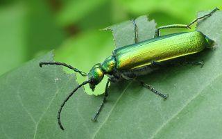 Зеленые жуки на сирени – как избавиться, фото и описание