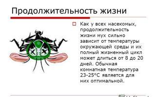Сколько живут мухи. жизненный цикл мух.