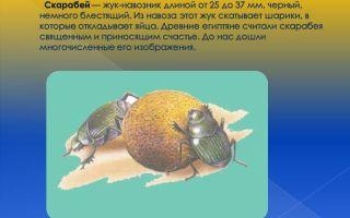 Жук скарабей – фото и описание