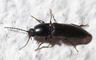 Как бороться с черными жуками на картошке