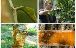 Как избавиться от муравьев на деревьях народными средствами