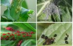 Тля — фото и описание видов и разновидностей тли