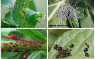 Тля – фото и описание видов и разновидностей тли