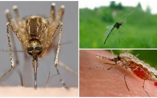 Через сколько проходят укусы комаров