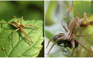 Сколько живут пауки в квартире и в природе