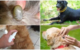 Чем обработать собаку от блох и клещей