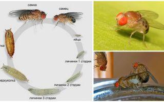 Мухи дрозофилы – откуда берутся, фото и описание