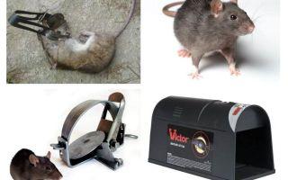 Ловушки для крыс и мышей — обзор эффективных капканов