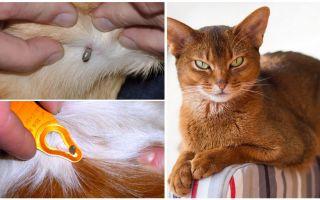 Кота укусил клещ – что делать, симптомы и последствия