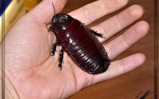 Самый большой таракан в мире