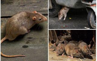 Дикие крысы — фото и описание
