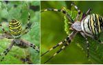 Тигровый паук – фото и описание