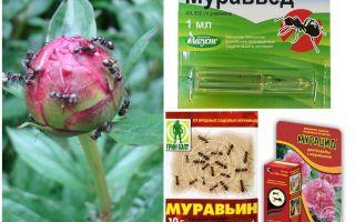 Как избавиться от муравьев на пионах народными средствами