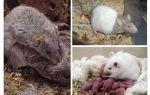 Как размножаются мыши
