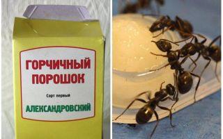 Как избавиться горчицей от муравьев в огороде