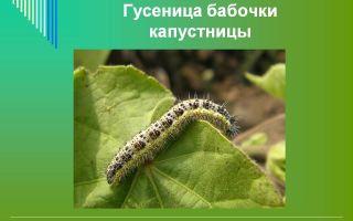 Гусеница и бабочка капустницы – фото и описание