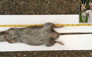 Самая большая крыса в мире – фото, максимальный размер и описание