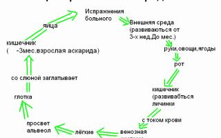 Жизненный цикл человеческой аскариды и схема развития
