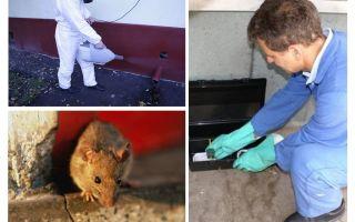 Уничтожение грызунов – дератизация крыс и мышей