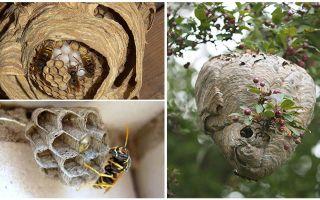 Осиное гнездо – фото и описание