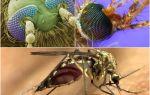 Комар под микроскопом — фото и описание