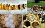 Как размножаются осы – жизненный цикл